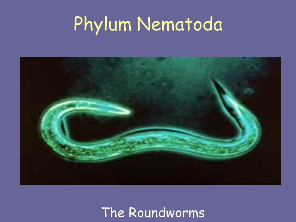 Morfologi umum phylum nemathelminthes - Bio La a a a a a A